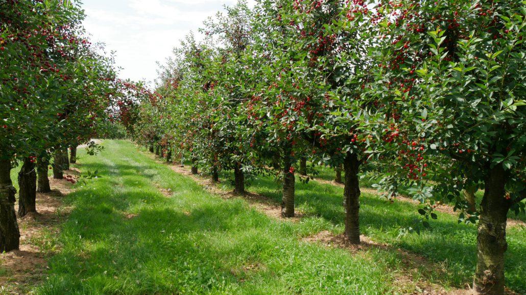 Kirschbäume mit Früchten